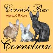корниш-рекс королевские кудрявые кошки
